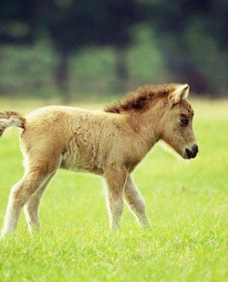 caballo miniatura o poni