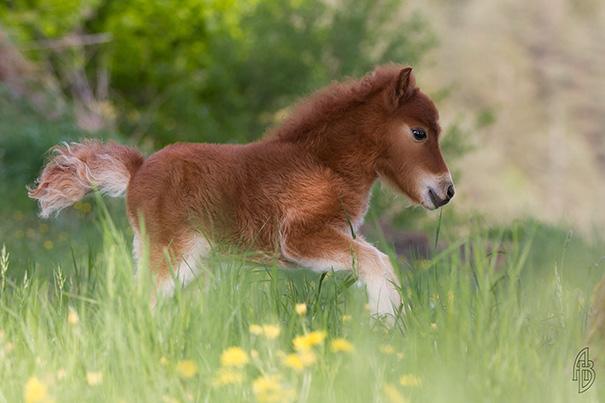 caballo-miniatura8