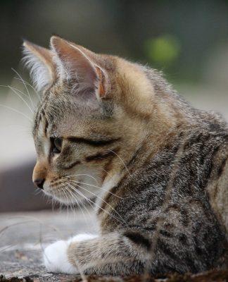 curiosidades de los gatos