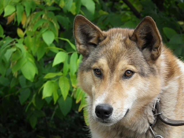 el perro desciende del lobo